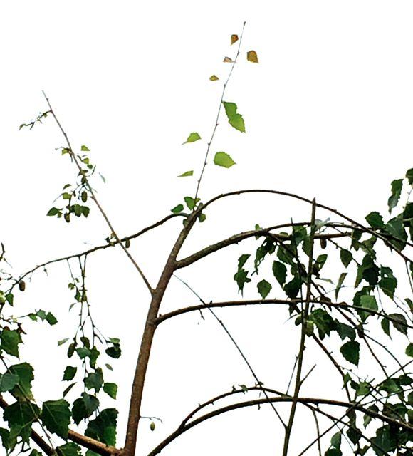 treetop-s